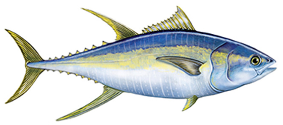 Art of Yellowfin Tuna