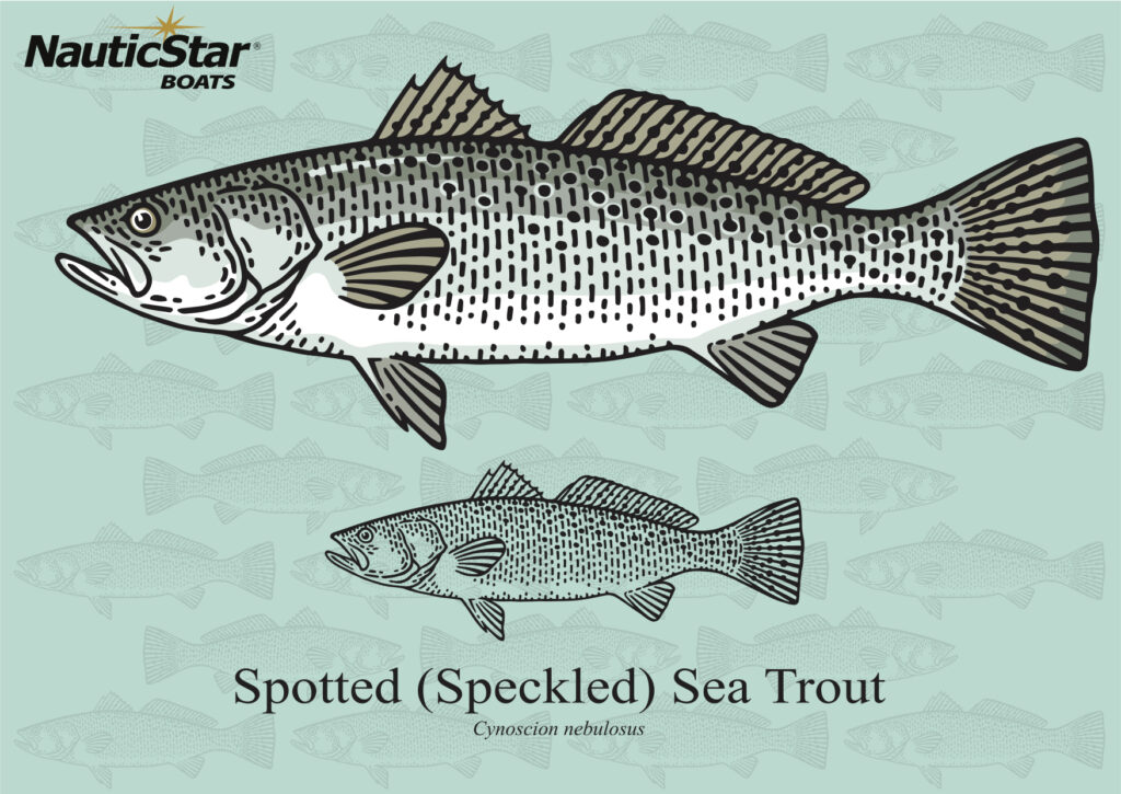 speckled sea trout graphic